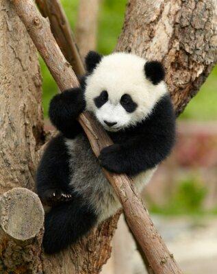 Quadro Giant panda bambino sopra l'albero