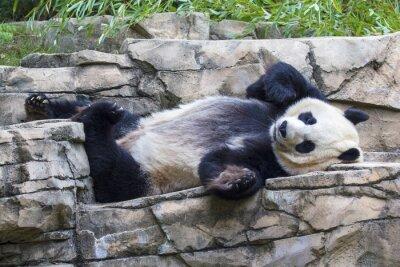 Quadro Giant panda bear napping at the National Zoo in Washington, DC.