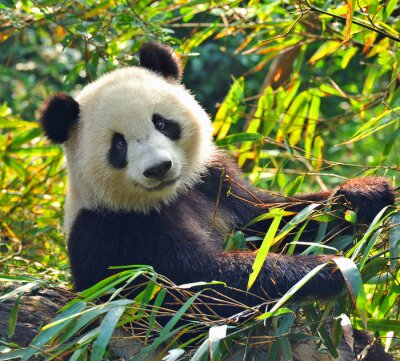 Quadro Gigante Hungry panda bear mangiare bambù