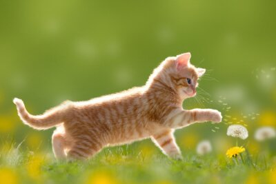 Quadro Giovane gatto che gioca con il dente di leone / Dandelion