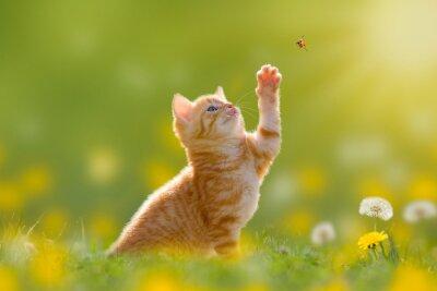 Quadro Giovane gatto / gattino caccia una coccinella