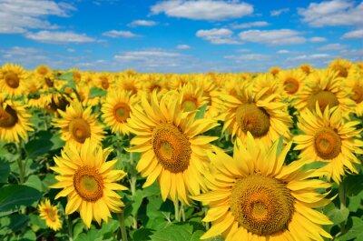 Quadro Giovani Girasoli fioriscono in campo contro un cielo blu