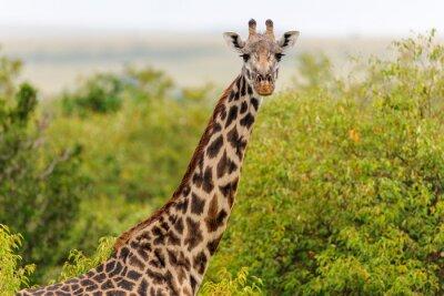 Quadro giraffa