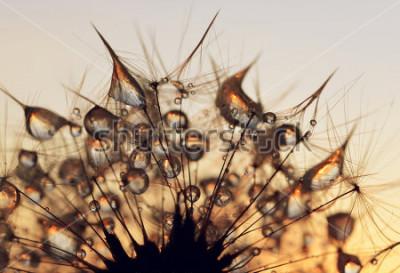 Quadro Gocce di rugiada su un semi di dente leone all'alba da vicino.