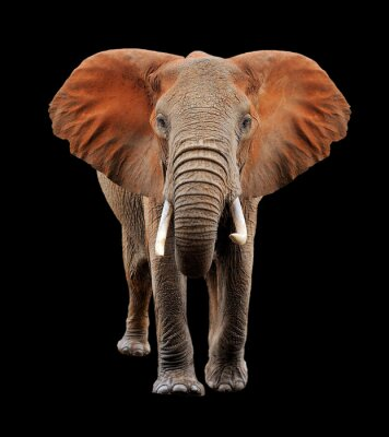 Quadro Grande elefante su sfondo nero