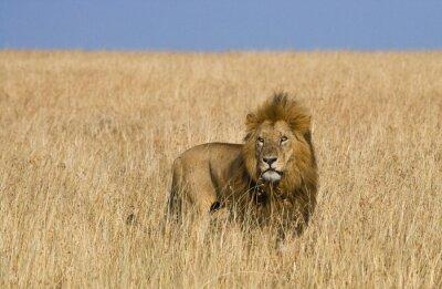 Quadro Grande leone maschio nella savana. Parco Nazionale. Kenya. Tanzania. Masai Mara. Serengeti. Un ottimo esempio.