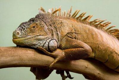 Quadro Grande lucertola che dorme sul ramo close-up, sfondo isolato