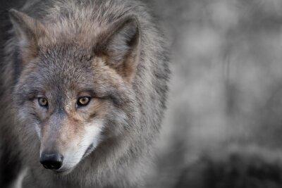 Quadro Grauer lupo ritratto 4