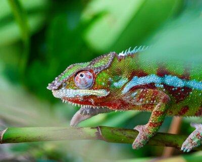 Quadro Green chameleon