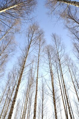 Quadro Guardando verso l'alto i tronchi bianchi di un gruppo di alberi di betulla nudi