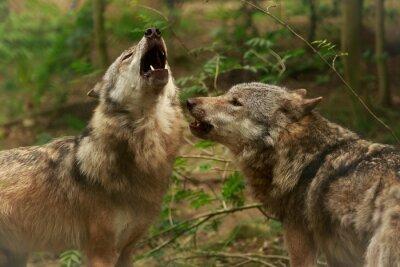 Quadro Heulende Wölfe