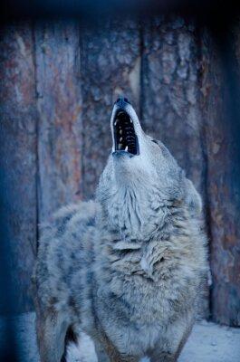 Quadro Howling Wolf (nei toni del blu, stile retrò, shallow DOF)