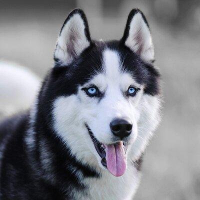 Quadro Husky siberiano
