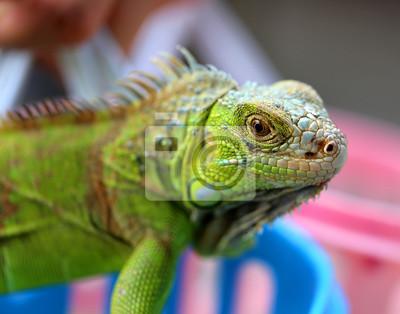 Quadro iguana lucertola verde