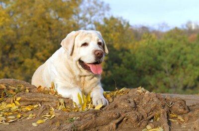 Quadro il bel labrador giallo nel parco in autunno