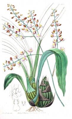 Quadro Illustrazione della pianta