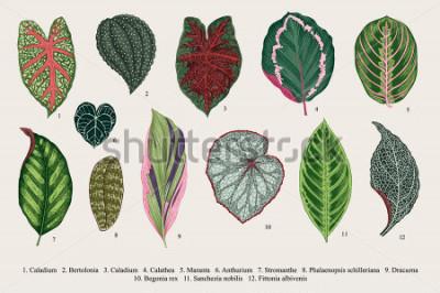 Quadro Impostare le foglie. Esotici. Illustrazione botanica vettoriale vintage. Colorato.
