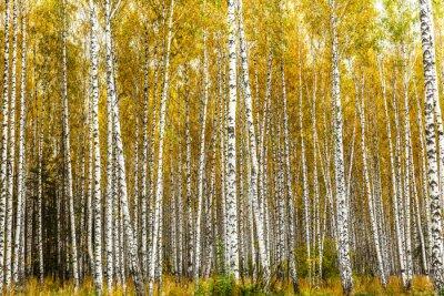 Quadro Inizio autunno boschetto di betulle