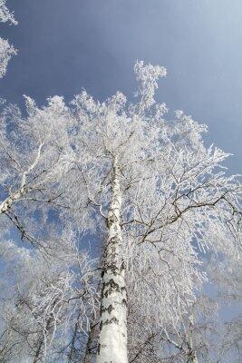 Quadro Inverno betulle foresta