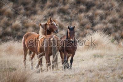 Quadro Kaimanawa cavalli selvaggi con le orecchie in su