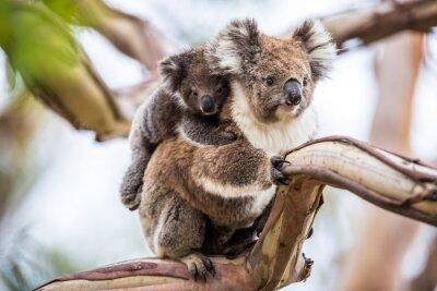 Quadro Koala