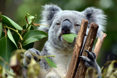 Quadro Koala a Lone Pine Koala Sanctuary a Brisbane, Australia