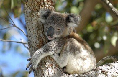 Quadro koala a zona di Port Stephens, NSW, Australia.