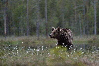 Quadro L'orso bruno (Ursus arctos) in brughiera con sfondo della foresta. L'orso bruno in palude con sfondo della foresta. Taiga. Finlandia.