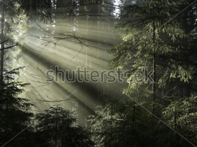 Quadro La luce del sole splende attraverso gli alberi