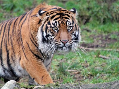 Quadro La tigre di Sumatra
