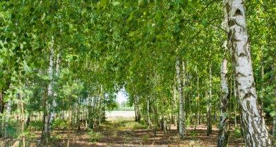 Quadro lasek brzozowy