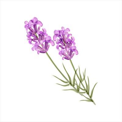 Quadro Lavanda. Fiore Herb. Illustrazione vettoriale