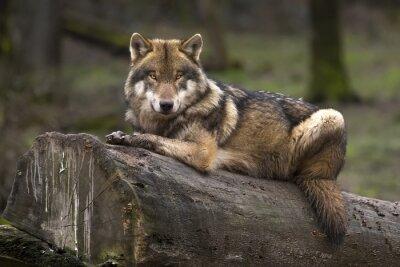 Quadro Le Gris loup