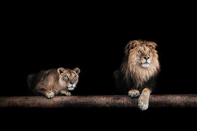 Quadro Leone e leonessa, ritratto di una bella leoni, leoni in da