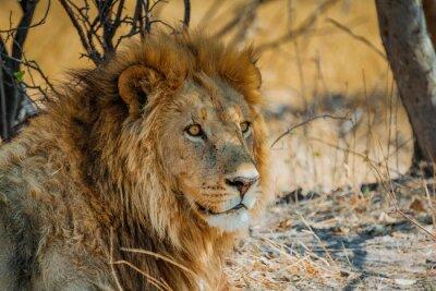 Quadro leone in africa