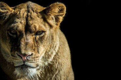 Quadro leone - leone