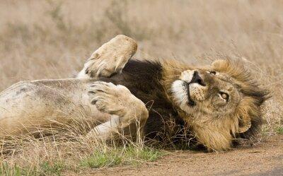 Quadro leone maschio sdraiato nel bush, Kruger, Sudafrica