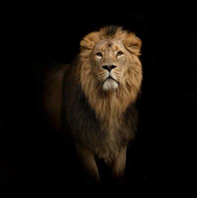 Quadro leone ritratto su fondo nero