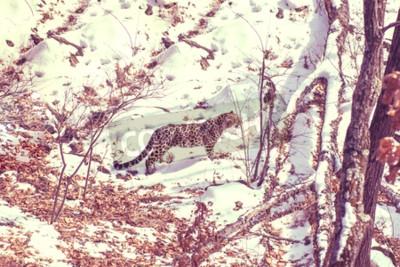 Quadro leopardo di mare, animale aggressivo cammina su terreno innevato, grande bellissimo leopardo a strisce. Inverno
