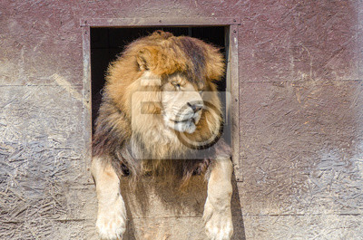 Lion dipinti da parete u2022 quadri gatto grande testa giacente