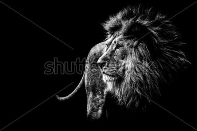 Quadro lion in black and white