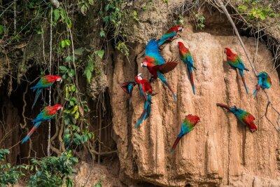 Quadro macaws in clay lick in the peruvian Amazon jungle at Madre de Di
