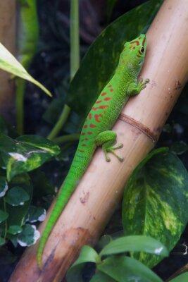 Quadro Madagascar giorno gecko gigante