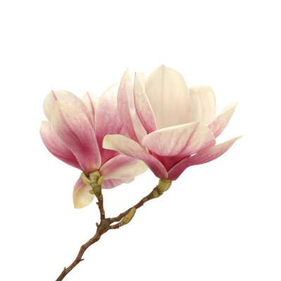 Quadro magnolia