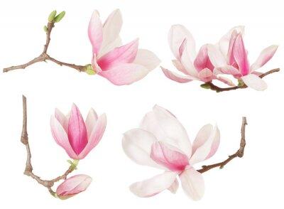Quadro Magnolia collezione primavera ramoscello di fiori su bianco, la saturazione percorso
