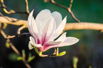 Quadro magnolia fiore alla luce del sole