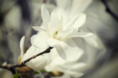 Quadro Magnolia fiori bianchi