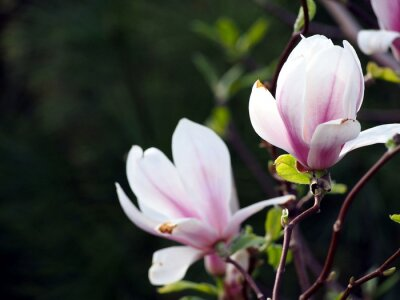 Quadro Magnolia x soulangeana 'Alexandrina'
