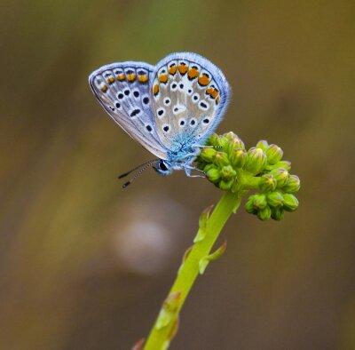 Quadro mariposa azul en la flor
