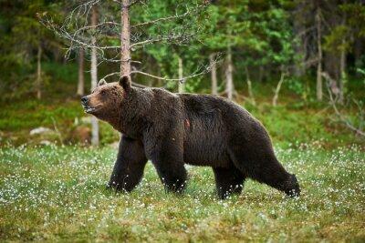 Quadro Maschio orso bruno